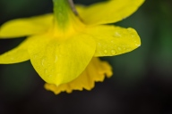 C. Vincent Ferguson - Wet Daffodil - Digital Image